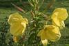 Oenothera. (Ciminus) Tags: garden piante naturesubjects wildlife fiori plants nature ciminus xf1855f284rlmois ciminodelbufalo macro flowers fujifilmxt2