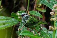 Tangara punctata Mgne Plomb 030618 AV-3rc (alapi973) Tags: neotropical bird oiseau frenchguiana amazonia tangarapunctata thraupidae tanager