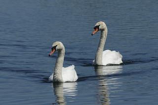 IMGP8161c Mute Swans, Fen Drayton Lakes, May 2018