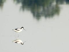 P5310440 (turbok) Tags: säbelschnäblerrecurvirostraavosetta tiere vögel wildtiere c kurt krimberger