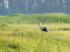 P5310492 (turbok) Tags: tiere vögel weisstorchciconiaciconia wildtiere c kurt krimberger