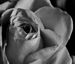 The last set, of the beautiful yellow roses!😁❤ (LeanneHall3 :-)) Tags: blackandwhite mono rose rosepetals closeupphotography closeup macro macrophotography flower flowersarefabulous flowersarebeautiful flowerflowerflower canon 1300d