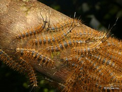 Spiny caterpillars, Saturniidae (Ecuador Megadiverso) Tags: amazon andreaskay caterpillar ecuador rainforest saturniidae spiny