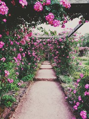 Rosenhöhe (Frau Koriander) Tags: vsco darmstadt rosenblüte rosen rosenhöhe rosenhöhedarmstadt huaweip9 leica hessen südhessen mobilephone nature natur park flora flowers blumen