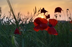 At the going down of the sun and in the morning, we will remember them. (Mr G's pics) Tags: dday