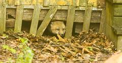 IMGL1294 Pugwash Red Fox Kit(s) (Wallace River) Tags: foxes novascotia pugwashfoxes redfoxes