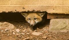 IMGL1239 Pugwash Red Fox Kit(s) (Wallace River) Tags: foxes novascotia pugwashfoxes redfoxes