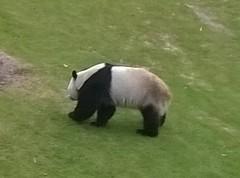 WP_20180608_12_37_54_SmartShoot (FinnCamera) Tags: panda