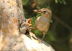 House Wren parenting (hennessy.barb) Tags: wren wrennest housewren troglodytesaedon bird feeding nestling bottomlesspit alwayshungry hungry parenting birdparenting barbhennessy
