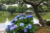 Japanese Garden (Kiyosumi) (seiji2012) Tags: 清澄庭園 東京 日本庭園 紫陽花 アジサイ 松 hydrangea kiyosumigarden tokyo pinetree pond