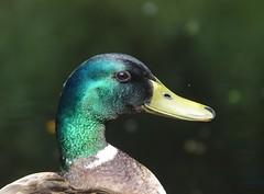 Because I am happy (eric zijn fotoos) Tags: holland bitd duck vogel eend sonyrx10m3 nederland noordholland