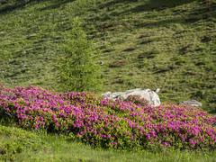 P6100042 (turbok) Tags: almlandschaft almrausch alpenpflanzen landschaft pflanze wildpflanzen c kurt krimberger