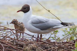 Black-headed Gull 1