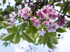 20180430-021 (sulamith.sallmann) Tags: natur pflanzen baum blossom blüte blüten botanik frühjahr frühling kirschbaum kirschblüten laubbaum nature obstbaum pflanze plants tree sulamithsallmann