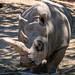 Safari West Rhino