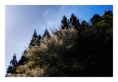 wild cherry (kouji fujiwara) Tags: cherry wildcherry spring blossom fujifilmxt2 fujifilm xt2 fujinon xf1655mmf28 xf1655mm f28