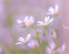 Flowers (Martine Lambrechts) Tags: flower nature macro flowers spring