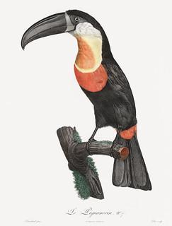 Green-billed toucan from Histoire Naturelle des Oiseaux de Paradis et Des Rolliers (1806) by Jacques Barraband (1767-1809).