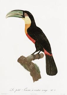 Red-billed Toucan from Histoire Naturelle des Oiseaux de Paradis et Des Rolliers (1806)by Jacques Barraband (1767-1809).