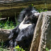 sloth bear sunning - Cleveland Zoo
