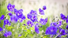 Geraniums (Nigel Burkitt) Tags: geranium orion
