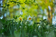 Daffodils (Stefano Rugolo) Tags: stefanorugolo pentax k5 pentaxk5 ricohimaging helios442 helios44258mmf2 m42 bokeh daffodil narcissus spring depthoffiled colors hälsingland sweden vintagelens primelens manualfocuslens manualfocus blooming flowers trees depthoffield