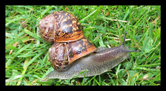 Hitch Hiker (M E For Bees (Was Margaret Edge The Bee Girl)) Tags: snails garden spring rain green grass two ride shells passenger slither