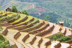 _J5K0850.0617.Lao Chải.Mù Cang Chải.Yên Bái. (hoanglongphoto) Tags: asia asian vietnam northvietnam northwestvietnam landscape scenery vietnamlandscape vietnamscenery terraces terracedfields transplantingseason sowingseeds hillside people landscapewithpeople canon canoneos1dsmarkiii hdr tâybắc yênbái mùcangchải phongcảnh ruộngbậcthang ruộngbậcthangmùcangchải mùacấy đổnước người phongcảnhcóngười sườnđồi mùcangchảimùacấy canonef70200mmf28lisiiusm ricceterracedinvietnam terracedfieldsinvietnam thehmong ngườihmông abstrat curve trừutượng đườngcong laochải