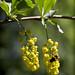 Flowers of barberry (atardecer2018) Tags: flores flower primavera 2018 naturaleza природа цветы