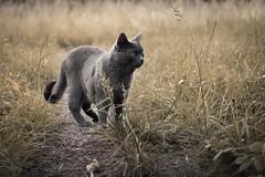 Siva on tour (Jana`s pics) Tags: cat katze grüneaugen greeneyes greycat grauekatze feline animal tier animalphotography tierfotografie natur nature outdoor feld field wiese gras grass
