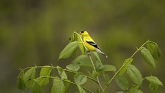Gold Finch..... (Kevin Povenz Thanks for all the views and comments) Tags: 2018 may kevinpovenz westmichigan michigan ottawa ottawacounty ottawacountyparks grandravinesnorth bird finch songbird yellow green outdoors outside nature wildlife canon7dmarkii sigma150500