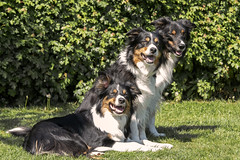 3 border collie (Flemming Andersen) Tags: dogs bordercollie sushi yatzy catja