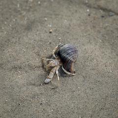 Hermit Crab / Langeoog (jkiter) Tags: sand natur tier deutschland langeoog einsiedlerkrebs nordsee krebs animal germany nature crab hermitcrab northsea