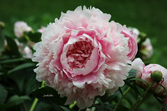 Happiness! (Judecat (back on the farm)) Tags: nature mygarden pink peony