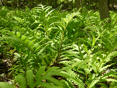 Ground Cover (Toats Master) Tags: forest woods nature plants tress birch ferns