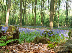 Bluebell woods (andy lyle2009) Tags: moss trees sunlight woods bluebells