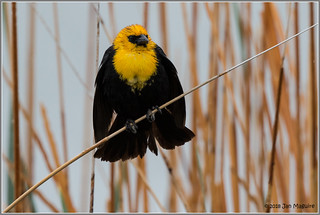 Yellow-headed Blackbird 5591