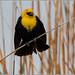 Yellow-headed Blackbird 5591 (maguire33@verizon.net) Tags: bearrivermigratorybirdrefuge yellowheadedblackbird bird wetlands wildlife corinne utah unitedstates us