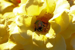 beetle in yellow rose (Liouxsie) Tags: yellow rose beetle canon sl1