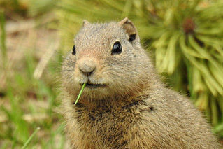 Teton - Ground Squirrel with Toothpick