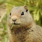 Teton - Ground Squirrel with Toothpick thumbnail