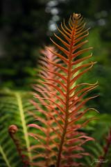 Chanticleer - June (Jen MacNeill) Tags: chanticleer gardens public pa garden gardening plant plants nature fern ferns
