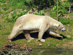 IMG_0053 (duncansmith50) Tags: yorkshirewildlifepark lions polar bears black rhino tigers giraffes doncaster