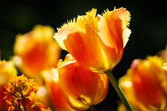 Tulips at Butchart Gardens, Victoria, British Columbia (Anne McKinnell) Tags: tulip tulips butchartgardens victoria britishcolumbia flower flowers nature