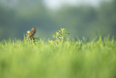 Corn Bunting (Benjamin Joseph Andrew) Tags: bird song calling jangle jangling spring farming farmland agricultural perching shouting songbird passerine arable