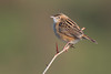zitting cisticola (leonardo manetti) Tags: uccello bird nature sunset red winter colours naturephotography field natural nikkor countryside green zitting cisticola macro albero animale nikon d500