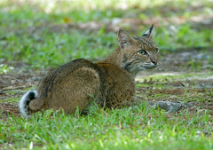 2018-06-02 P1344426 Bob's back (Tara Tanaka Digiscoped Photography) Tags: bobcat stalking florida nature wildlife predator manualfocus digiscoped video