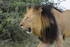 Male Lion (Barry Zee) Tags: bush middaysun sunny chobenationalpark botswana africa gamedrive canon eos 7d mark ii ef200400mm f4l is usm canoneos7dmarkii canonef200400mmf4lisusm 7dmkii 7d2 200400mmf4