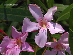 Torremolinos 09 flor (ferlomu) Tags: ferlomu flor flower málaga torremolinos