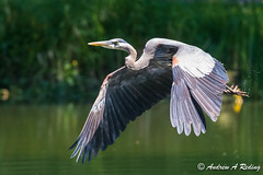 great blue heron takeoff (Andrew Reding) Tags: ardeaherodias dragonfly